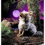 plyšový Kojot