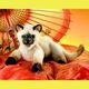 Plyšová hračka: Siamská kočka plyšová, Folkmanis