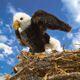 Plyšová hračka: Orel bělohlavý plyšový, Folkmanis