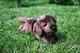 Plyšová hračka: Štěně Kenrich labrador plyšový, Russ Berrie