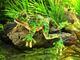 Plyšová hračka: Žába skokan plyšák, Folkmanis