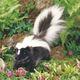 plysovy-skunk-folkmanis