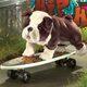 Plyšová hračka: Anglický buldok štěně plyšový, Folkmanis