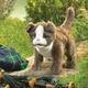 Plyšová hračka: Skotská klapouchá kočka plyšový, Folkmanis